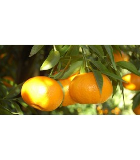 Mandarini Tardivi di...