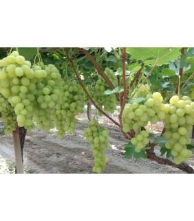 Uva bianca Italia cassetta da 7kg Puglia