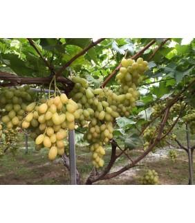 Uva bianca senza semi 7kg